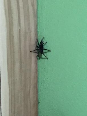 Mr. Tarantula exploring the vertical curiosities of the guest house.