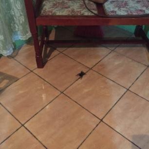 Mr. Tarantula in transit.